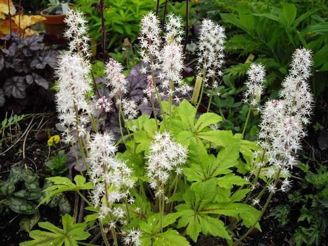 Садовый цветок - Тиарелла