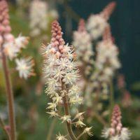 Тиарелла — тенелюбивое растение для сада