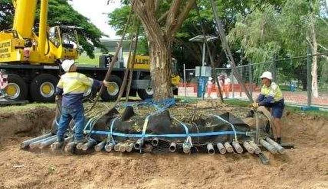 Как правильно пересадить взрослое дерево
