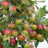 Как ухаживать за яблоней после сбора яблок