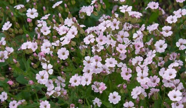 Выращиваем цветы для сада – Ваккария посевная