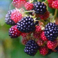 Полезные свойства ежевики, правила посадки, выращивания и ухода за Ежевикой