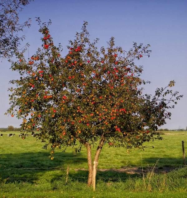 Что посадить под яблоней