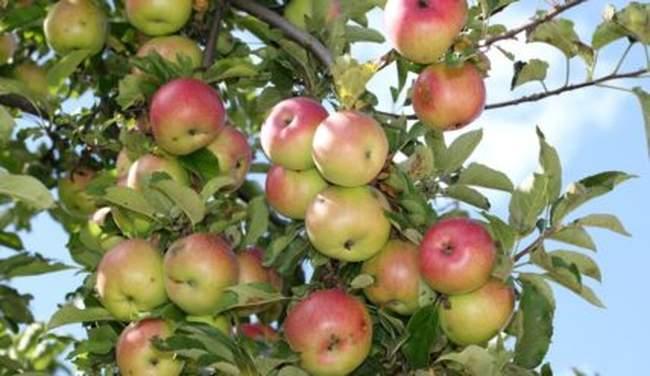 Что делать, чтобы яблоня плодоносила и на следующий год
