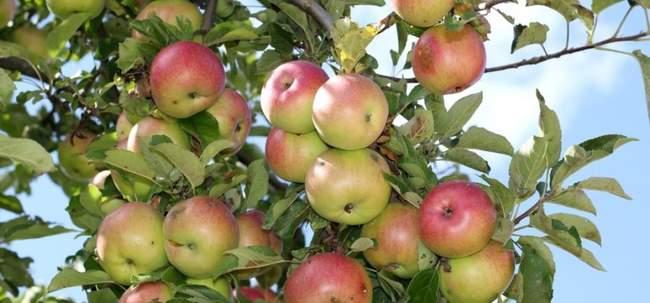 Как помочь яблоням, если год выдался очень урожайным