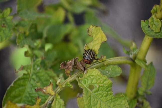 Поврежденный колорадским жуком картофель