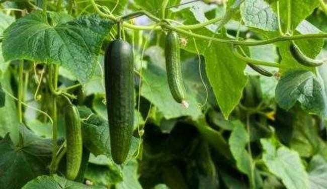Как ухаживать за огурцами – Как подвязать, подкормить и поливать, чтобы получить большой урожай огурцов