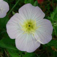 Энотера красивая: элегантные цветы для сада. Фото