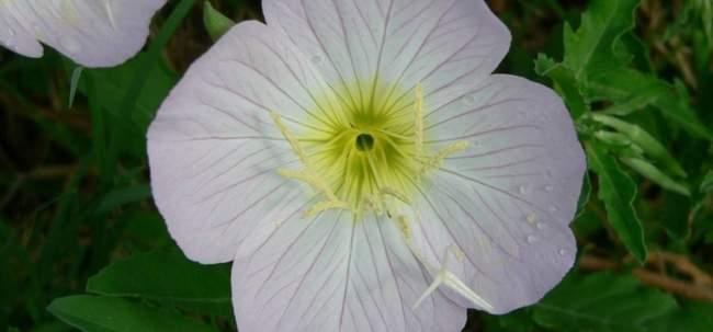 Выращивание Энотеры красивой
