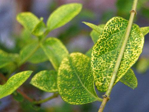 Болезни жимолости: Крапчатость листьев