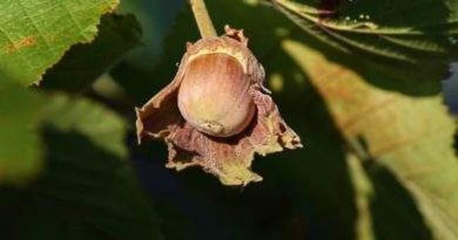 Фундук в саду