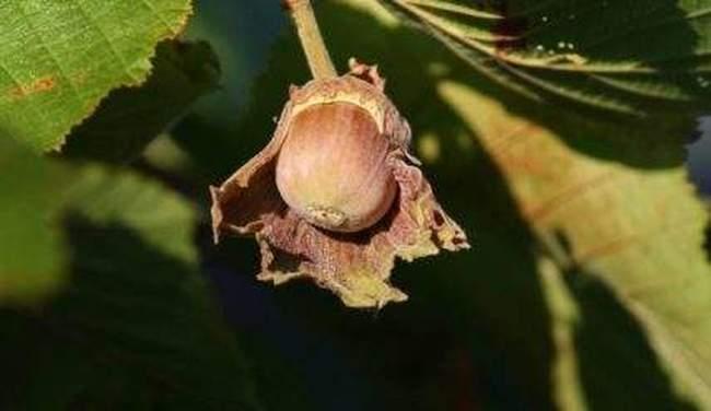 Выращивание Фундука на даче. Посадка и уход за лещиной