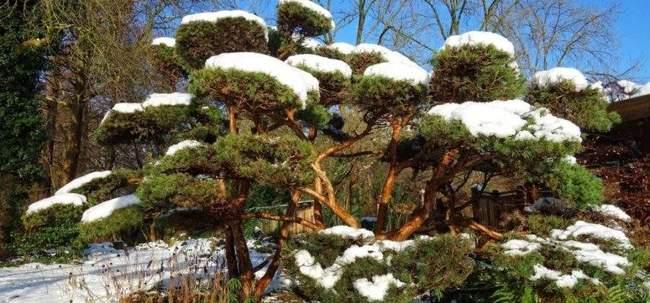 Формирование хвойных деревьев: прищипка побегов