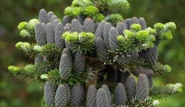 Используем хвойные растения в альпинарии
