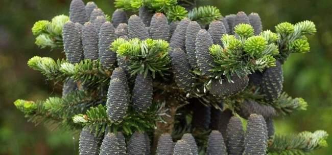 Хвойные растения для альпийской горки