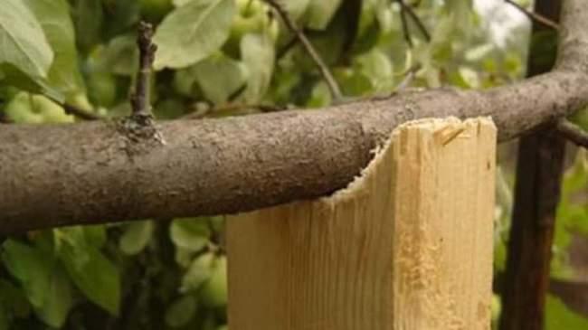 Уход за яблоней осенью: Подпорка для веток
