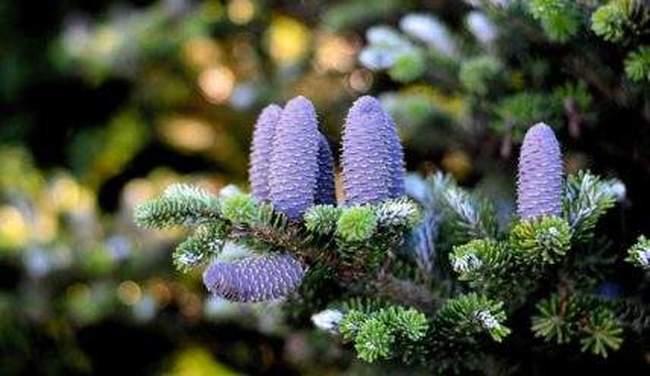 Как посадить, ухаживать и размножать пихту на даче. Виды пихты для садового участка
