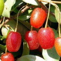 Лох многоцветковый — Гуми: посадка и уход