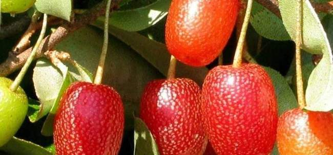 Посадка Лоха Многоцветкового — Выращивание и уход за Гуми
