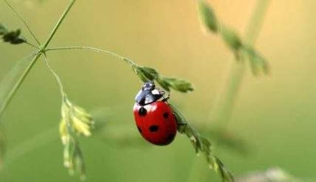 Божьи коровки на даче — как привлечь полезное насекомое на участок