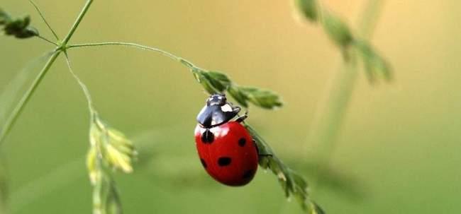 Чем полезна для сада и огорода божья коровка и как ее привлечь