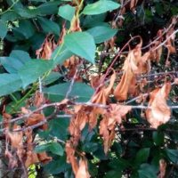 Болезни косточковых культур — монилиоз