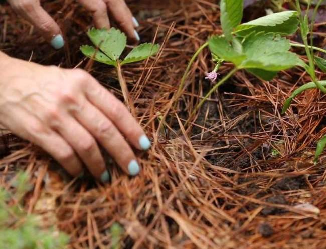 Мульчирование клубники и земляники