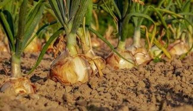 Вредители лука и как от них защитить урожай