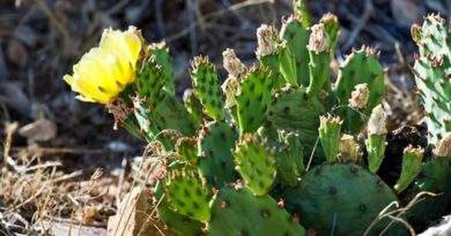 Как вырастить зимостойкий кактус