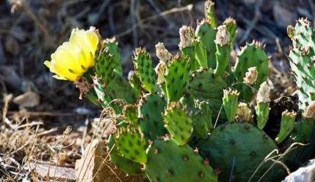 Посадка и уход за садовыми зимостойкими кактусами