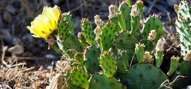 Садовые зимостойкие кактусы