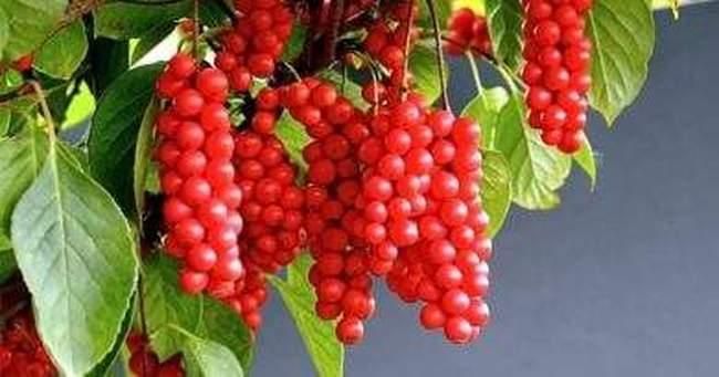 Лимонник китайский выращивание и полезные свойства