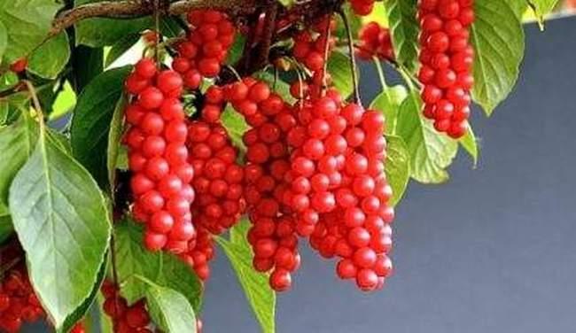 Как вырастить полезное растение – Лимонник китайский и правильно ухаживать за ним