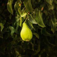 Как заставить плодоносить грушу – 9 причин почему не плодоносит груша