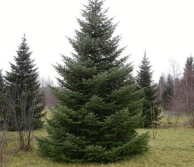 Взрослое дерево пихты сибирской
