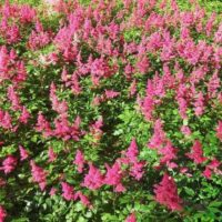 Астильба: посадка и уход в открытом грунте
