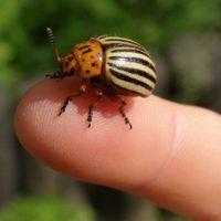 Как избавиться от колорадского жука своими силами