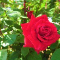 Уход за розами после зимы. Что сделать весной, чтобы розы порадовали своим цветением
