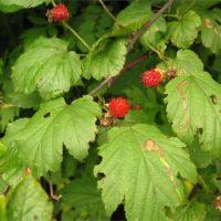 Почему ягоды малины становятся мелкими