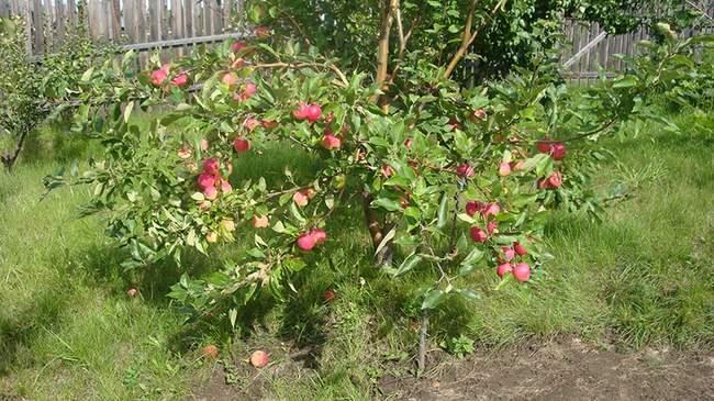 Яблоня на карликовом подвое