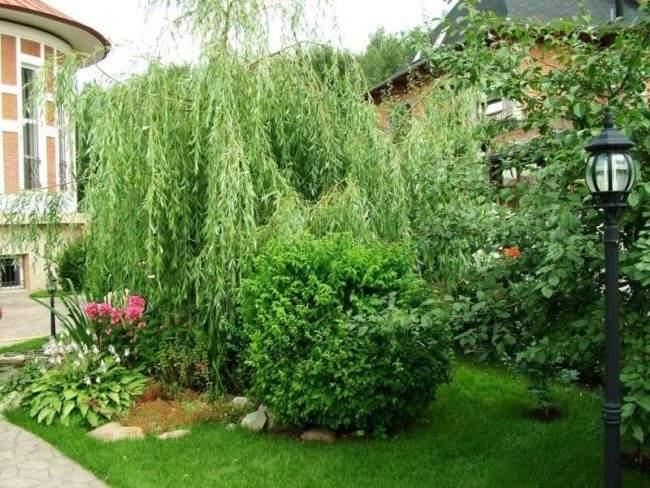 Плакучая ива в саду