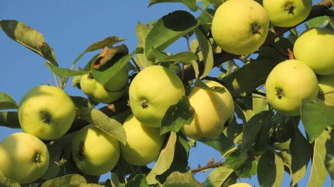 Сорт яблок - Белый налив