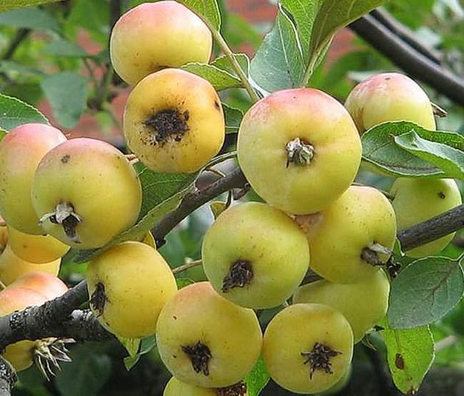 Плодоношение яблонь