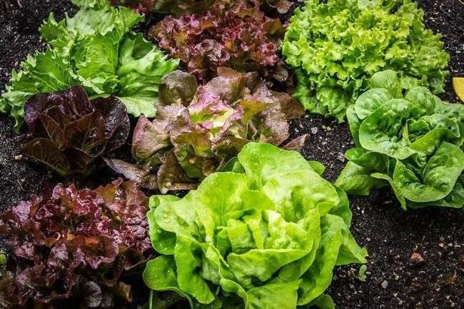 Кочанный салат на грядке