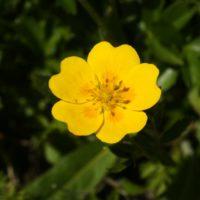 Выращивание и уход за древовидной лапчаткой