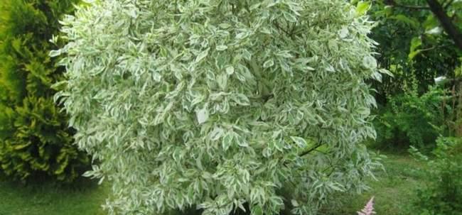 Дёрен белый пестролистный: посадка, уход и размножение