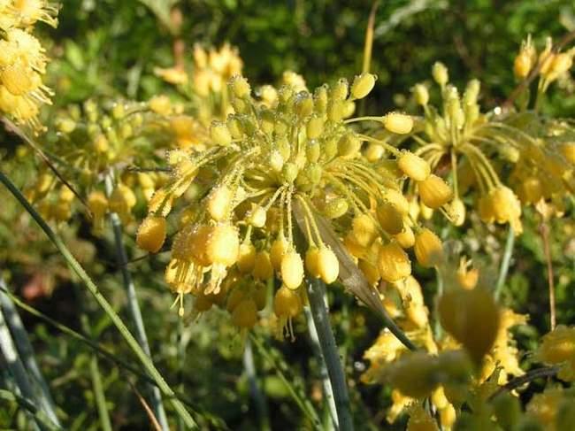 Виды декоративного лука: Лук жёлтый