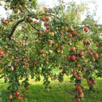 Можно ли заставить яблоню плодоносить каждый год?