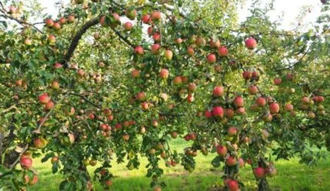 Как можно заставить яблоню плодоносить каждый год