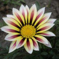 Гацания: выращивание из семян, посадка, уход, зимнее хранение